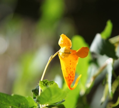 JEWELWEED 3