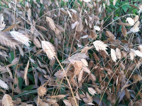 wheat 1